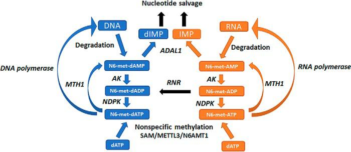 Potential routes for cellular production and metabolism of <t>N6-methyl-dATP</t> and <t>N6-methyl-ATP.</t> N6-methyl-dATP and N6-methyl-ATP may be produced from N6-methyl-dAMP and N6-methyl-AMP formed upon DNA and RNA degradation, respectively. This may occur through the consecutive actions of adenylate kinase ( AK ) and nucleoside diphosphate kinase or through nonspecific methylation by S -adenosylmethionine ( SAM ), the N6-adenosine-methyltransferase METTL3 or N6-adenine–specific DNA methyltransferase 1 ( N6AMT1 ). N6-methyl-dATP and N6-methyl-ATP are hydrolyzed by MTH1 to their corresponding monophosphates and further metabolized by ADAL1 to dIMP and IMP that can then enter the nucleotide salvage pathway. Abbreviations used in the figure: NDPK , nucleoside diphosphate kinase; RNR, ribonucleotide reductase; METTL3, N6-adenosine methyltransferase; N6AMT1, N6-adenine-specific DNA methyltransferase 1.