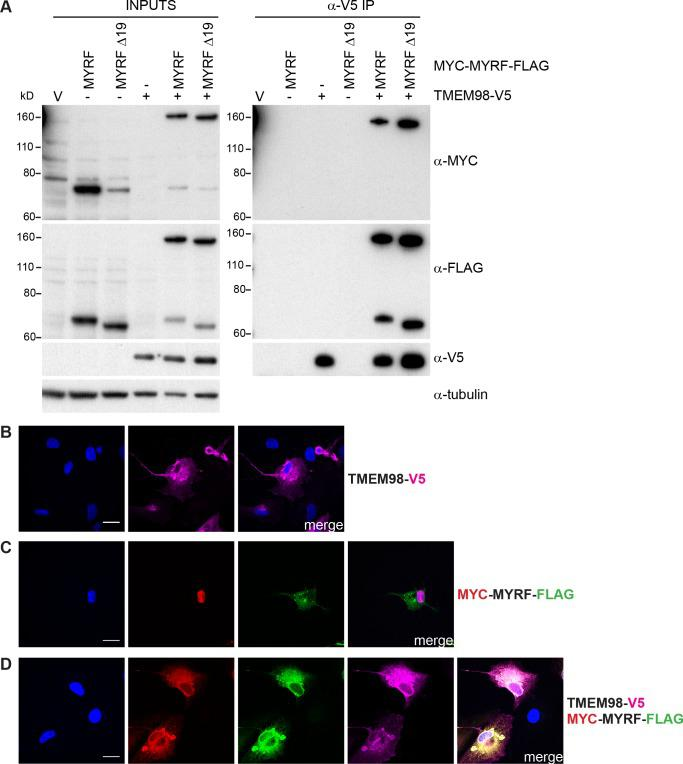 TMEM98 prevents MYRF self-cleavage and binds to the C-terminal part of MYRF. (A) Co-immunoprecipitation experiment where HEK293T cells were transiently transfected with the indicated epitope-tagged expression constructs and immunoprecipitated with anti-V5.The two MYRF constructs were either full-length (MYRF) or lacked exon 19 (MYRF Δ19). Western blot analysis of the inputs (left) and immunoprecipitated fractions (right) probed with anti-MYC (Cell Signaling Technology, 2276), anti-FLAG (Cell Signaling Technology, 2368) and anti-V5 antibodies are shown. Anti-tubulin antibody was used to probe the input Western as a loading control. The Western of the input samples shows that MYRF cleaves when transfected alone but remains largely intact when co-transfected with TMEM98-V5. The Western of the immunoprecipitated fractions shows that intact MYC-MYRF-FLAG and the C-terminal part tagged with FLAG are co-immunoprecipitated with TMEM98-V5 indicating that TMEM98 interacts with the C-terminal part of MYRF. Uncropped Western blot images are shown in S9 Fig . (B-D) ARPE-19 cells were transiently transfected with TMEM98-V5 and/or MYC-MYRF-FLAG and immunostained with anti-V5 (magenta), anti-MYC (Cell Signaling Technology, 2278) (red) and anti-FLAG (Biolegend, 637302) (green) antibodies as indicated. DAPI staining is in blue. (C) When transfected alone MYC-MYRF-FLAG cleaves and the N-terminal part tagged with MYC translocates to the nucleus whilst the C-terminal part tagged with FLAG is membrane-bound. (D) When MYC-MYRF-FLAG is co-transfected with TMEM98-V5 it remains intact and colocalises with TMEM98-V5 in the membrane. Scale bars represent 20 μm.