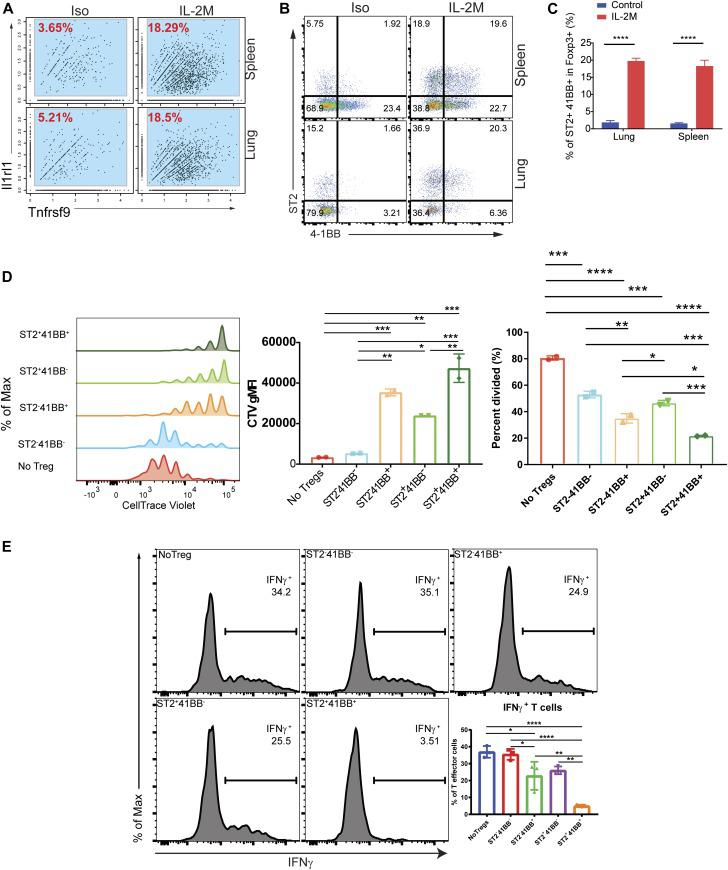 Tnfrsf9 + Il1rl1 + Tregs are superior in suppression functional assay of Tregs in vitro. (A) Expression of Il1rl1 ( ST2 ) and Tnfrsf9 ( 4-1BB ) in RNA single-cell analysis of Tregs from the spleen ( top ) or lung ( bottom ) of isotype control–treated (Iso) or murine IL-2M–treated mice (IL-2M). (B) Expression of ST2 and 4-1BB using FACS analysis from the spleen ( top ) or lung ( bottom ) of Iso or IL-2M–treated mice. (C) Quantification of ST2+4-1BB+ cells in Foxp3+ Tregs. (B, C) Results are re presentative of two independent experiments, using three mice in each experiment. (D) Fopx3-EGFP+ Tregs were stained based on ST2 and 4-1BB expression. Single-cell suspension from two IL-2M–treated mice was combined and four quadrants of Fopx3-EGFP+ Tregs were sorted based on ST2 and 4-1BB. In vitro suppression assays were performed in duplicate using four populations of sorted Tregs or without Tregs. Experiments were repeated using three mice and in triplicate (data not shown). (E) Suppression function of four Treg sub-populations on IFNγ production. Four quadrants of Fopx3-EGFP+ Tregs were sorted based on ST2 and 4-1BB. Tregs were cocultured with effector T cells and APCs differentiated under Th1 skewing condition. IFNγ intracellular staining under the conditions using Tregs from PBS- or IL-2M–treated mice. No Tregs were added in one condition as a control. (B, C, D, E) Results are representative of two independent experiments, using 2–3 mice in each experiment. (C, D) Statistics: (C, D), one-way ANOVA for multiple comparisons. **0.001