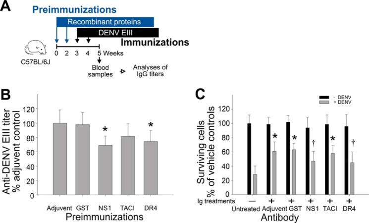 Preimmunization of rNS1 and rDR4 suppressed elicitation of neutralizing anti-DENV EIII titers. Experimental mice were firstly immunized with adjuvant (without mixed with proteins), rGST, rNS1, rTACI and rDR4 for 2 cycles, and then immunization with rEIII for additional 2 cycles ( A ) (experiment outline). The anti-EIII Ig titers were analyzed using ELISA in the 5 th week ( B ). The neutralizing properties of these anti-EIII Ig were analyzed by protection of BHK-21 cells against DENV infection in vitro . The cell survival rates were recorded after 96 h challenges of DENV (MOI = 0.5) and 96 h treatments of heat-inactivated anti-serum (20 µL/well of microtiter plate) from respective groups ( C ). * P