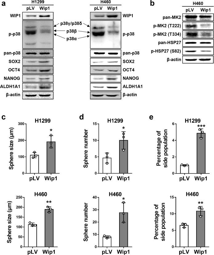 Ectopic expression of WIP1 reduces the levels of activated p38 and enhances stemness-related protein expression and CSC properties in NSCLC cells. a Western blotting was used to analyze the expression of WIP1, phospho-p38, p38, <t>SOX2,</t> OCT4, NANOG, and ALDH1A1 in H1299 (left panels) and H460 (right panels) cells transduced with a WIP1-overexpressing plasmid (WIP1) or vector control (pLV). Arrows indicate the positions of p38 isoforms. b Western blotting was used to analyze MK2, phospho-MK2 (Thr222), phospho-MK2 (Thr334), HSP27, and phospho-HSP27 (Ser82) in H460 cells transduced with the WIP1-overexpressing plasmid (WIP1) or vector control (pLV). c , d A sphere formation assay was performed with H1299 (top graphs) and H460 (bottom graphs) cells transduced with the WIP1-overexpressing (WIP1) or vector control (pLV) plasmid. Quantifications of sphere sizes ( d ) and numbers ( e ) are shown in bar graphs. The data are presented as the mean ± SD of three independent experiments. * indicates P