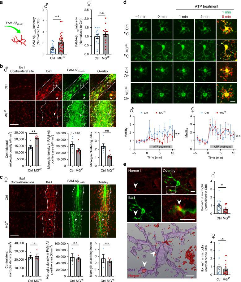 Microglial surveillance and synapse engulfment in MG 4E mice. a Phagocytosis of FAM-Aβ (1–42) in cultured control and MG 4E microglia. Male, n = 18 for control and n = 28 for MG 4E ; female, n = 14 for control and n = 13 for MG 4E . ** p = 0.0017 and n.s. not significant ( p = 0.4919) by two-sided t -test. b , c Migration of microglia into FAM-Aβ (1–42) injection sites in 2-week-old male ( b ) and female ( c ) control and MG 4E mice. Microglia clustering index is defined as (density of Iba1 + cells in the FAM-Aβ-covered area)/(density of Iba1 + cells in a contralateral site). Male, n = 6 control mice and 7 MG 4E mice; female, n = 4 per genotype. Two-sided t -test: male mice, contralateral microglia density, ** p = 0.0013; clustering index, ** p = 0.0026, n.s. not significant. Scale bars, 100 μm. d Microglial surveillance in response to ATP treatment in male and female MG 4E microglia at P14–P18. Microglial baseline motility was recorded for 5 min, then ATP was bath-applied to brain slices and recorded for another 10 min. Data was normalized to the mean process motility of first 5 min. Male, n = 15 microglia from 3 control mice and 20 microglia from 3 MG 4E mice; female, n = 18 microglia from 3 control mice and 26 microglia from 3 MG 4E mice. Male, two-way ANOVA for genotype during ATP treatment, F (1, 330) = 9.566, p = 0.002; female, two-way ANOVA for genotype during ATP treatment, F (1, 420) = 0.045, p = 0.831. Scale bar, 10 μm. e Engulfment of Homer1 by microglia. Upper panel shows confocal images of Homer1 and Iba1 double immunohistochemistry, and lower panel shows 3-D reconstruction of a microglial cell and Homer1 immunoreactivity. Arrowheads denote Homer1 inside the microglia. Male, 18 microglia from 6 control mice and 15 microglia from 5 MG 4E mice; female, 15 microglia from 5 mice per genotype. * p = 0.0378 and n.s., not significant ( p = 0.4891) by two-sided t -test. Scale bars, 5 μm. All data are shown as mean ± s.e.m. Source data are provided as a Source D