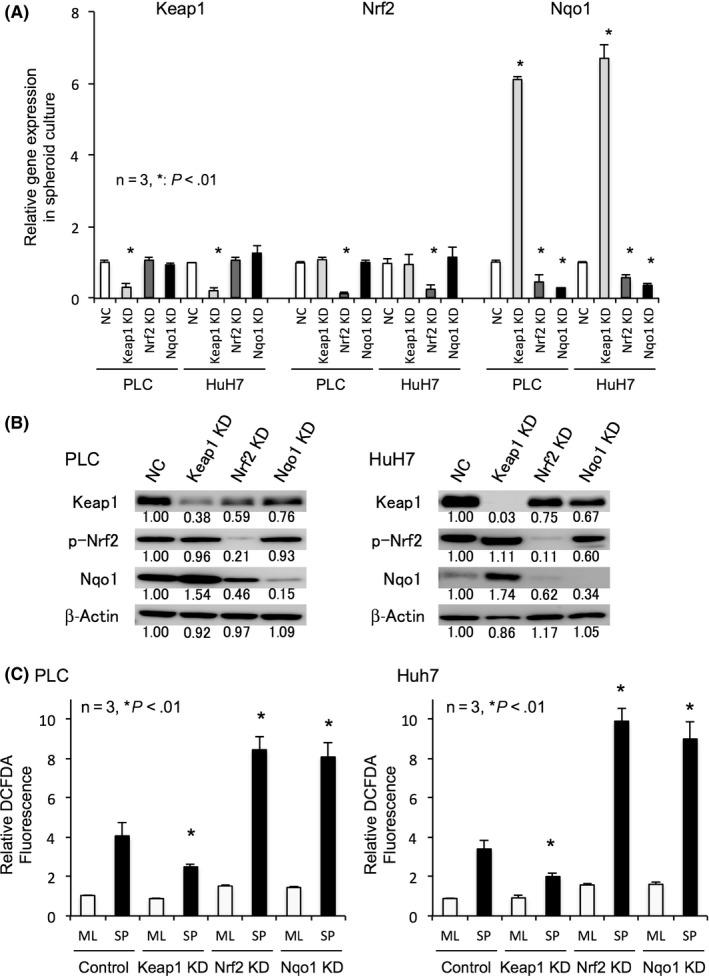 Depletion and induction of NADPH quinone oxidoreductase 1 (Nqo1) changes the intracellular reactive oxygen species (ROS) levels. A, B, Relative mRNA expression (A) and protein expression (B) of nuclear factor erythroid‐derived 2‐like 2 (Nrf2)‐related antioxidants in spheroid culture of negative control (NC), Kelch‐like ECH‐associated protein 1 (Keap1), Nrf2, and Nqo1 transient knockdown (KD) cells. Keap1 KD induced Nqo1 expressions, while Nrf2 KD decreased Nqo1 expressions in spheroid culture. Protein levels are indicated below each image. C, Intracellular oxidative stress in monolayer (ML) and spheroid (SP) culture of control, Keap1, Nrf2, and Nqo1 knockdown cells. ROS levels indicated by the relative 2′,7′‐dichlorofluorescein diacetate (DCFDA) fluorescence intensity decreased in Keap1 KD cells but increased in Nrf2 or Nqo1 KD cells in spheroid culture. All data represent means ± SEM of 3 experiments. * P