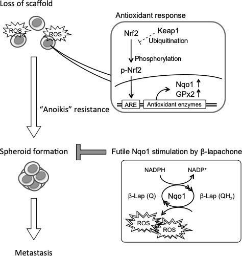 Cancer cells confronted with oxidative stress due to loss of scaffold and react with the nuclear factor erythroid‐derived 2‐like 2 (Nrf2)/ARE axis including NADPH quinone oxidoreductase 1 (Nqo1). Cells with anoikis resistance are able to build spheroid during circulation to the metastatic sites. β‐Lapachone (β‐Lap) futilely stimulates Nqo1 and induces excessive reactive oxygen species (ROS) to diminish the spheroid formation ability and prevent metastasis. GPx2, glutathione peroxidase‐2; Keap1, Kelch‐like ECH‐associated protein 1; Q, quinone; QH 2 , unstable hydroquinone; ARE, antioxidant response element