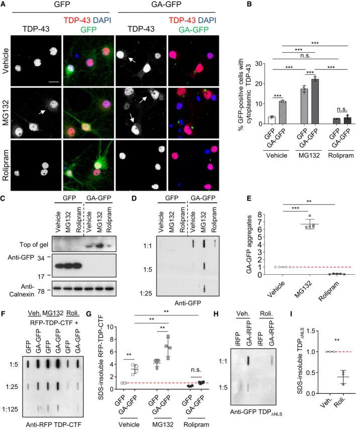 Rolipram rescues poly‐ GA ‐dependent TDP ‐43 mislocalization and aggregation by boosting proteasome activity Primary hippocampal neurons were transduced with GFP or GA 175 ‐GFP after 4 days in vitro , incubated for 7 days (DIV 4 + 7), and treated with vehicle (DMSO), MG132 (10 μM), or rolipram (30 μM) for 16 h. (A) Immunofluorescence reveals enhanced cytoplasmic TDP‐43 levels in neurons with poly‐GA aggregates or treated with MG132. Arrows mark punctate TDP‐43 staining. Rolipram treatment reduced cytoplasmic TDP‐43 in GA 175 ‐GFP neurons. Scale bar denotes 20 μm. (B) Automated quantification of cells with cytoplasmic TDP‐43 in GFP‐ or GA 175 ‐GFP‐transduced neurons. n = 4 biological replicates. In total, 462 GFP and 371 GA 175 ‐GFP cells treated with vehicle, and 386 GFP and 529 GA 175 ‐GFP cells treated with MG132, and 513 GFP and 434 GA 175 ‐GFP cells treated with rolipram were analyzed. Scatter plot with bar graphs of mean ± SD. One‐way ANOVA with Tukey's multiple comparisons test. (C) Immunoblot to show effects of MG132 and rolipram on GA 175 ‐GFP and GFP expression. (D and E) Filter trap assay with quantification of SDS‐insoluble aggregated GA 175 ‐GFP. n = 5 biological replicates. Scatter plot with mean ± SD. One‐way ANOVA with Tukey's multiple comparisons test. HeLa cells were co‐transfected with RFP‐TDP‐CTF and GFP or GA 175 ‐GFP for 2 days. For the final 16 h, cells were treated with rolipram (30 μM) or MG132 (10 μM). Filter trap assay of SDS‐insoluble TDP‐CTF aggregates quantified by densitometry. n = 4 biological replicates. Scatter dot plot, mean ± SD. One‐way ANOVA with Tukey's multiple comparisons test. See also Appendix Fig S3 . HeLa cells were co‐transfected with TDP‐43 ΔNLS ‐GFP and iRFP or GA 175 ‐iRFP for 2 days. For the final 16 h, cells were treated with either vehicle or rolipram (30 μM). Filter trap assay of SDS‐insoluble TDP‐43 ΔNLS ‐GFP aggregates quantified by densitometry. n = 3 biological replicates. Scatter dot plot, mean ± SD. One‐way ANOVA with Tukey's multiple comparisons test. Data information: ** P