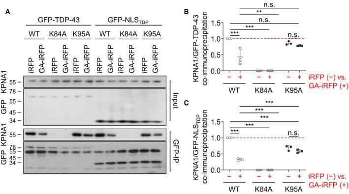 Poly‐ GA reduces KPNA 1 binding of full‐length TDP ‐43 HeLa cells were co‐transfected with either full‐length GFP‐TDP‐43 (wild type, K84A, K95A) or GFP‐NLS TDP (wild type, K84A, K95A) as well as iRFP or GA 175 ‐iRFP and incubated for 48 h. Lysates were immunoprecipitated with anti‐GFP and immunoblotted with an anti‐importin‐α5/KPNA1 antibody to detect binding of the nuclear import receptor. Protein expression in the input is also shown. Quantification of KPNA1 levels normalized to total GFP‐TDP‐43 and GFP‐NLS TDP reporter levels in anti‐GFP immunoprecipitates. n = 3 biological replicates. Scatter plot with mean ± SD. One‐way ANOVA with Tukey's multiple comparisons test. ** P