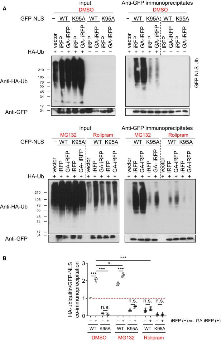 Poly‐ GA  induces poly‐ubiquitination of  TDP ‐43 within the  NLS  at lysine 95 HeLa cells were co‐transfected with wild‐type or K95A GFP‐TDP‐NLS, HA‐ubiquitin, and iRFP or GA 175 ‐iRFP. Twenty‐four hours after transfection, cells were treated with rolipram (30 μM), MG132 (10 μM), or DMSO (vehicle) for 16 h. Lysates were immunoprecipitated with Protein G beads coupled with anti‐GFP antibody. Immunoblotting of input (left panels) and anti‐GFP immunoprecipitates (right panels) to show GFP reporter levels and poly‐ubiquitination. Quantification of HA‐ubiquitin levels normalized to total GFP‐NLS TDP  reporter levels in anti‐GFP immunoprecipitates.  n  = 3 biological replicates. Scatter plot, mean ± SD. One‐way ANOVA with Tukey's multiple comparisons test. * P