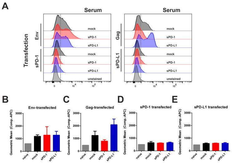 Soluble PD-1 and PD-L1 ectodomain co-expression is not inducing an autologous antibody response. 293T cells were transfected with plasmids encoding for Env, Gag, sPD-1, or sPD-L1. Twenty-four hours after transfection, cells were treated with Brefeldin A for 6 h in order to inhibit protein transport. Subsequently, cells were fixed, permeabilized, and incubated with sera from mice immunized with Env- and Gag-DNA either with empty vector (mock) or with corresponding checkpoint ectodomain DNA (sPD-1, sPD-L1). Murine antibodies were detected using an APC-conjugated anti-mouse IgG1 antibody. Shown are the histograms of transfected cells ( A ) as well as the Geometric Mean Fluorescence Intensity of Env- ( B ), Gag- ( C ), sPD-1 ( D ), and sPD-L1 transfected cells ( E ) after incubation with immunized mouse sera and the respective secondary antibody. ( A ) Data are representative of three independent experiments. ( B – E ) Data represent the mean with SEM of one out of three representative experiments with three sera samples from each group.