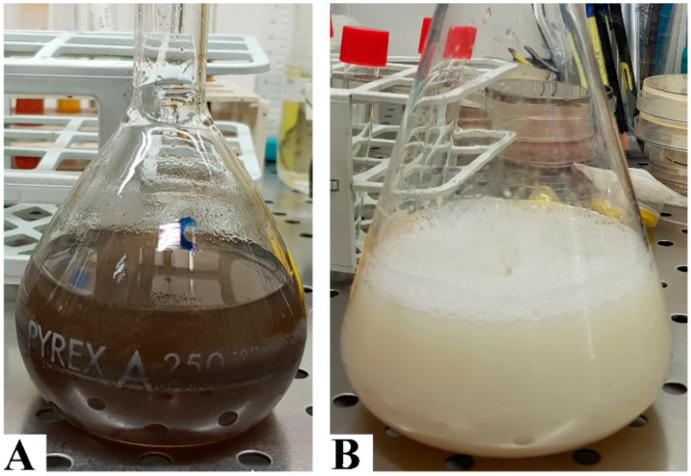Biosynthesis of silver nanoparticles. Plant-mediated method ( A ) after dissolving  C. longa  powder in ddH 2 O, the solution was filtered to remove the majorities of vegetal debris; finally, silver nitrate was added and the change in colour was monitored. Bacterial supernatant method ( B ). After growing  E. coli  ATCC ®  25922 in Mueller-Hinton broth, the supernatant was collected, and silver nitrate was added to induce nanoparticle synthesis.