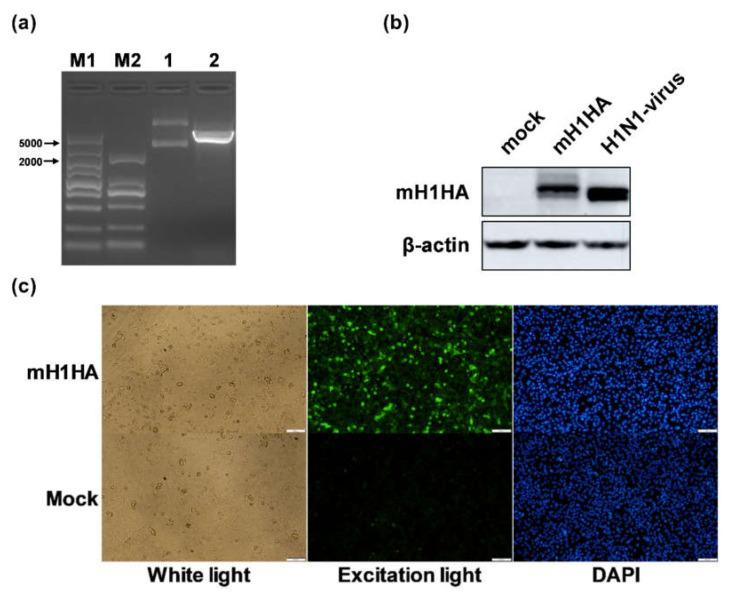 Construction and verification of mRNA vaccine encoding the H1N1-HA protein. ( a ) Agarose gel electrophoresis of Xho I enzyme digestion products. 1 represents the intact plasmids of pGEM-H1N1-HA-n3 and 2 represents its linearized product of 5355 bp. M1: DL 5,000 DNA Marker (TaKaRa, Tokyo, Japan); M2: DL 2000 DNA Marker (TaKaRa, Tokyo, Japan). ( b,c ) Western blot and indirect immunofluorescence analyses. A549 cells were harvested 12 h and 48 h after transfection. The H1N1-HA protein was detected using rabbit anti-influenza A virus HA Mab. The H1N1-virus group was used as the positive control. Mock represents the negative control. DAPI was used to dye the nuclei.