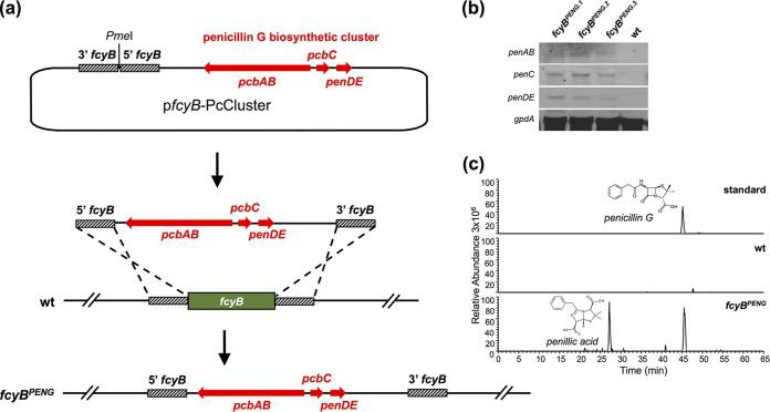 Genomic insertion of the PcCluster-transformed A. fumigatus into a <t>penicillin</t> G producer. (a) To facilitate genomic integration of the PcCluster at the fcyB locus, the plasmid p fcyB -PcCluster comprising the respective DOI (17 kb) as well as fcyB 5′ and 3′ NTRs was generated. Linearization of this plasmid with PmeI allows homologous recombination-based replacement of fcyB coding sequence with DNA containing the PcCluster. (b) Expression of functional pcbAB , pcbC and penDE was monitored in three independent transformants using Northern blot analysis ( gpdA was used as reference). (c) LC-MS/MS-extracted ion chromatograms of penicillin G (peak at 45 min) and its degradation product penillic acid (peak at 27 min) in the culture supernatant of fcyB PENG strain after shaking incubation for 48 h at 25°C. wt served as a negative control.
