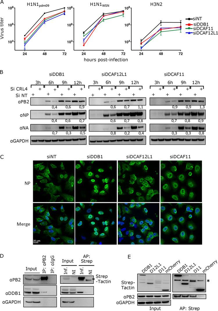 Involvement of CRL4 factors in IAV infection. (A) A549 cells were transfected with siRNA nontarget (NT) or siRNA targeting CRL4 factors (si target) for 48 h and then infected at an MOI of 0.0001 PFU/cell (H1N1 WSN ) or 0.001 PFU/cell (H1N1 pdm09 and H3N2). Viral titers were determined by plaque-forming assay at the indicated time points. Statistical significances are given in Table S1 . (B) A549 cells transfected with the indicated siRNA for 48 h were infected with H1N1 pdm09 at an MOI of 3 PFU/cell. Total cell lysates were prepared at the indicated time postinfection and analyzed by Western blotting using the indicated antibodies. The relative amounts of viral proteins in siRNA-treated samples compared to the corresponding siRNA nontarget (NT) samples are indicated. (C) A549 cells transfected with the indicated siRNA for 48 h were infected with H1N1 WSN at an MOI of 5 PFU/cell. At 6 h postinfection, cells were fixed, permeabilized, and stained with an anti-NP antibody (green) and with Hoechst 33342 (blue). Representative images of NP localization are shown. Quantification of the NP labeling is provided in Fig. S2C . (D) HEK293T cells were noninfected (NI) or infected with H1N1 WSN (left) or H1N1 WSN -PB2-Strep (right) virus at an MOI of 3 for 6 h. Cell lysate was subjected to anti-PB2 antibody and IgG (left) or to Strep-Tactin pulldown (right). Proteins in the pulled fractions and in 1/10 of whole-cell extract (inputs) were assessed in an immunoblot assay as indicated. (E) HEK293 cells stably expressing Strep-DDB1, Strep-DCAFs (D12L1 for DCAF12L1 or D11 for DCAF11), or Strep-mCherry (control) were infected with H1N1 WSN at an MOI of 3 for 6 h and subjected to Strep-Tactin pulldown. The PB2 protein copulled with the Strep-CRL4 factors was detected using anti-PB2 antibody. One-fourth of whole-cell extract was used to detect the Strep-CRL4 factors in the input since they were undetected in a 1/10 fraction, indicating a low level of Strep fusion expression. The asteris