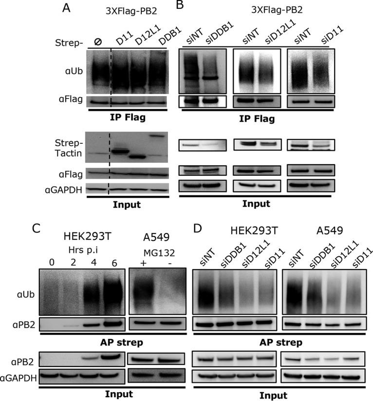 CRL4 E3 ligase complexes mediate PB2 ubiquitination. (A) HEK293T cells were transiently transfected with the indicated expression plasmids. At 36 h posttransfection, cells were treated with MG132 (10 μM) for 4 h. Anti-Flag immunoprecipitation (IP) was performed from cell lysates prepared under strong denaturing conditions (2% SDS), and the ubiquitinated forms of PB2 were detected using antiubiquitin antibody, followed by an anti-Flag immunoblot assay to detect PB2. Expression of Flag-PB2 and the Strep fusion proteins was monitored in cell lysate (Input). A dashed line marks that a lane from the initial membrane has been removed (not shown here). (B) HEK293 cells stably expressing Strep-DDB1, Strep-DCAF12L1 (D12L1), or Strep-DCAF11 (D11) were transfected with the indicated siRNA and 24 h later transfected with 3×Flag-PB2 for 36 h and treated with MG132 (10 μM) for 4 h. Cell lysate was processed for anti-Flag immunoprecipitation and immunoblotting as shown in panel A. (C) HEK293T cells were infected with H1N1 WSN -Strep at an MOI of 3 for different times and treated with MG132 (10 μM) for 4 h before cell lysis (left). Similarly, A549 cells were infected with H1N1 WSN -Strep at an MOI of 3 for 8 h and treated or not with 10 μM MG132 4 h before cell lysis (right). Strep-PB2 protein was pulled using Strep-Tactin Sepharose beads, and antiubiquitin and anti-PB2 immunoblotting assays were performed. (D) HEK293T and A549 cells transfected with the indicated siRNA for 48 h were infected with H1N1 WSN -Strep at an MOI of 3 for 6 and 8 h, respectively, and treated with MG132 (10 μM) for 4 h before cell lysis. PB2-Strep pulldown and immunoblot assays were performed as described for panel C.