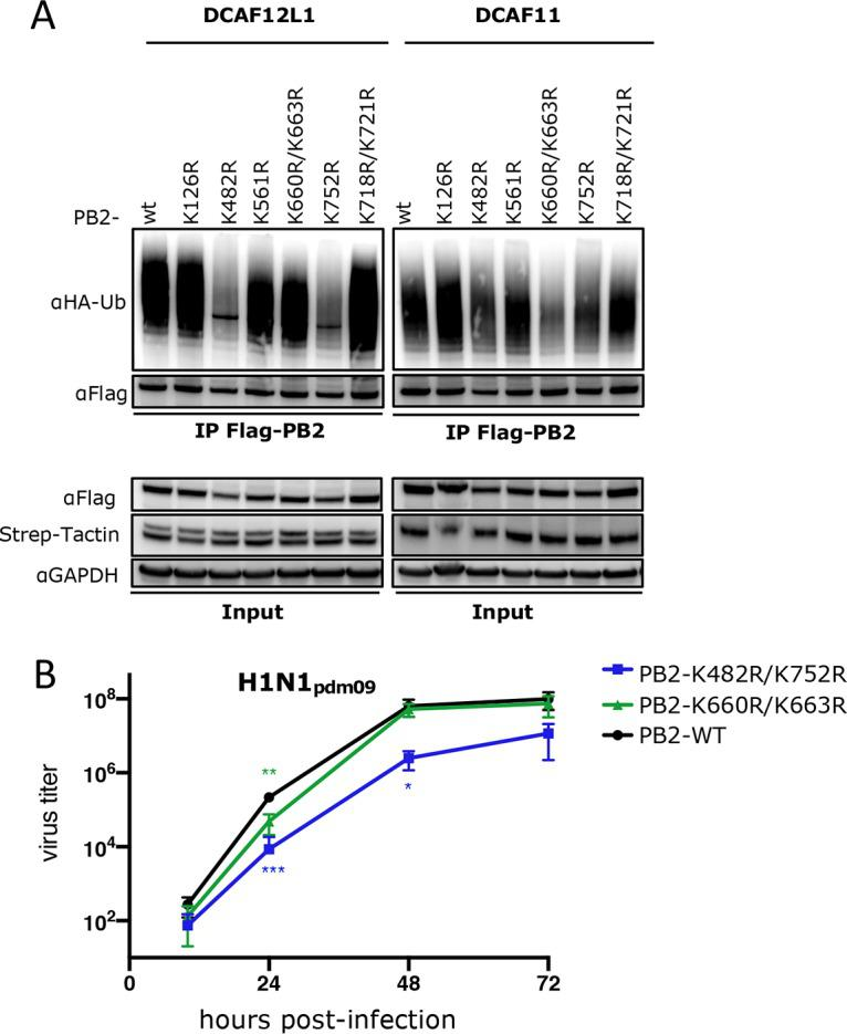 CRL4s mediate different patterns of PB2 ubiquitination that are involved in infection. (A) HEK293 cells stably expressing Strep-DCAF12L1 or Strep-DCAF11 were cotransfected with the indicated PB2 mutants fused with 3×Flag tag together with HA-ubiquitin. At 48 h posttransfection, cell lysates were subjected to Flag pulldown and analyzed by immunoblotting with the indicated antibodies. Expression of Flag-PB2 and Strep fusions was monitored in cell lysate (Input). (B) A549 cells infected at an MOI of 0.001 with recombinant H1N1 pdm09 viruses, either wild type or mutated in the PB2 lysines targeted by each of the CRL4 E3 ligases as indicated. Viral titers were determined in triplicates by plaque-forming assay at the indicated time points, and significance was measured using one-way ANOVA (ns, P > 0.05; *, P ≤ 0.05; **, P ≤ 0.01; ***, P ≤ 0.001).