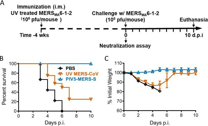 Comparison of the protective efficacy between single-dose immunization with UV light-inactivated MERS-CoV and PIV5-MERS-S. hDPP4 KI mice were immunized with 10 4 PFU PIV5-MERS-S via intranasal route; 10 6 PFU UV-inactivated MERS MA 6.1.2, mixed with Imject alum; or PBS via intramuscular route. Four weeks after immunization, immunized mice were infected with 10 5 PFU MERS-CoV. (A) Schematic timeline outlining experimental plan. (B and C) Survival (B) and weight loss (C) were monitored daily until 10 days postinfection. PBS, n = 9; UV MERS-CoV, n = 12; PIV5-MERS-S, n = 8. Data represent mean ± SE.