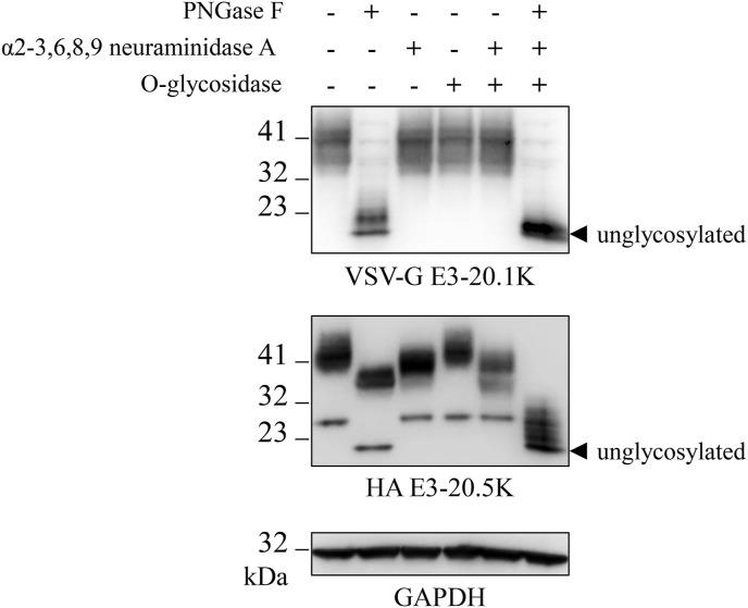 HAdV-3 E3-20.1K is N-glycosylated whereas E3-20.5K is N-and O-glycosylated. A549 cells were infected with the HAdV-3 N-tag wt virus at a MOI of 10 pfu/cell. At 48 hpi cell lysates were prepared and treated for 1 h with PNGase F, or α2-3,6,8,9 neuraminidase A, or O-glycosidase either individually or sequentially with α2-3,6,8,9 neuraminidase A and o-glycosidase or with PNGase F, α2-3,6,8,9 neuraminidase A, and o-glycosidase in the order mentioned. After treatment, the lysates were analyzed for the expression of VSV-G E3-20.1K, HA E3-20.5K, and GAPDH (loading control) by SDS-PAGE and WB. The blot is representative of three independent experiments.