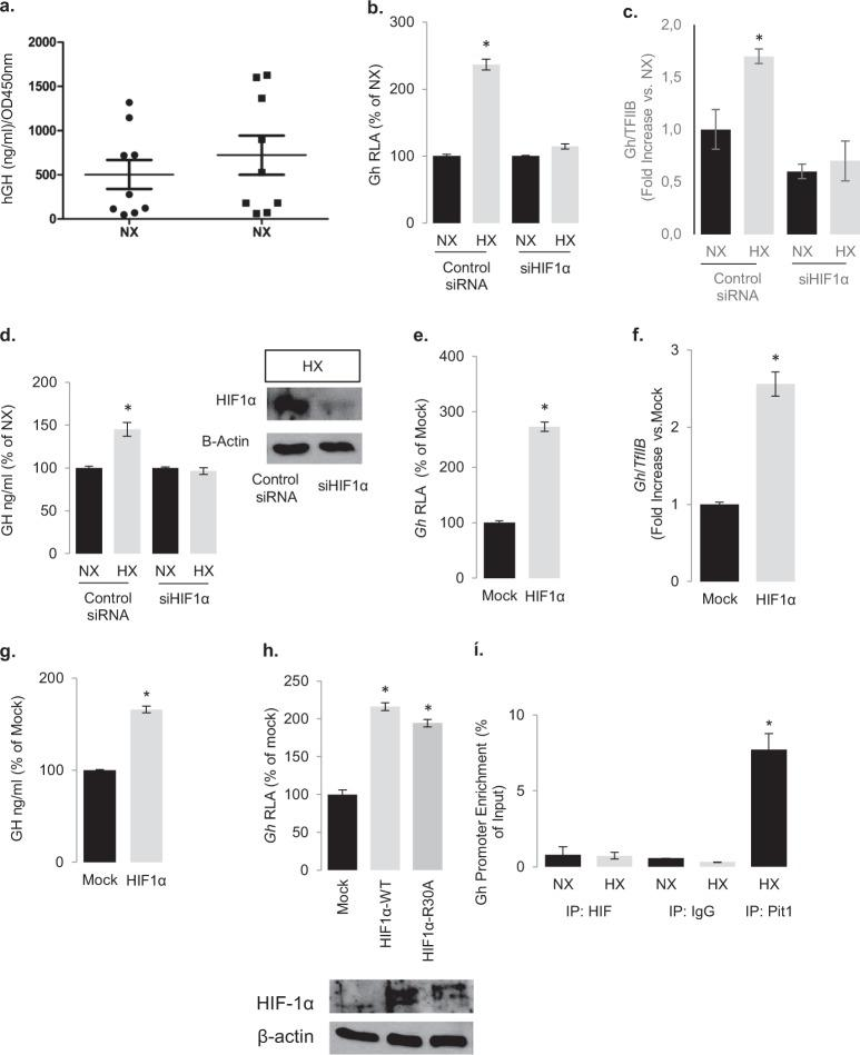 Hypoxia and HIF-1α increase GH synthesis. a Effect of hypoxia (1% O 2 for 18 h) on GH secretion on nine human acromegalic tumors in primary cell culture. For all cell culture experiments, each GH RIA value was divided to respective cell viability count as determined by WST-1 at OD450nm. Every condition was in quadruplicates and data are means ± SEM. * P