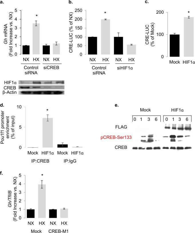 Hypoxia and HIF-1 trigger CREB activity. a Knocking down CREB with siRNA abolishes the effect of hypoxia on endogenous rat Gh transcription in GH3 cells as determined by real-time RT-PCR. Immunoblot shows the knockdown efficacy of the CREB siRNA ( b ) effect of hypoxia (1% O 2 for 18 h) on CRE induced luciferase activity. Transfection with 100 nM HIF-1α siRNA for 48 h abolished the effect of hypoxia. Luc/βGal: luciferase: β-galactosidase ratio. Data are means ± SEM of three experiments and expressed as percentage of each normoxia control. * P