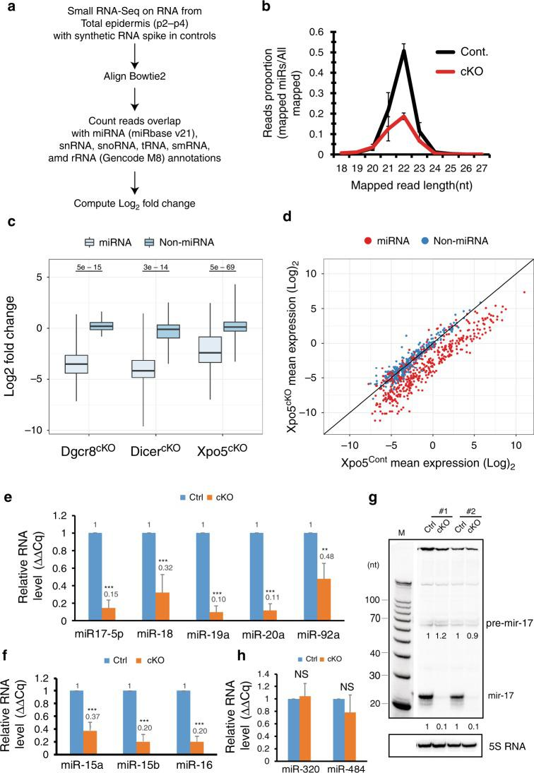 XPO5 is required for miRNA biogenesis. a Bioinformatic pipeline of quantitative small RNA-seq and data analysis. b Small RNAs between 20 and 23 nt showed strong depletion in XPO5 cKO skin samples. Small RNA reads from 18 to 27 nt were charted from small RNA cDNA libraries. c The depletion of miRNAs in XPO5 cKO skin is weaker than that in Dicer1 and Dgcr8 cKO skin. For each boxplot, the middle line is the median, the vertical line spans the data range, and the hinges are the first and third quartiles. A two-sided Mann–Whitney test was used for statistical tests. d Depletion of mature miRNA reads in XPO5 cKO skin is evident for highly expressed miRNAs (red coloured dots). e Depletion of mir-17-5p , mir-18 , mir-19a , and mir-20a except mir-92a in XPO5 cKO skin is measured by qPCR. f Depletion of mir-15a , mir-15b , and mir-16 in XPO5 cKO skin is measured by qPCR. g Depletion of mir-17-5p is confirmed by northern blotting. h Unchanged expression of mir-320 and mir-484 in XPO5 cKO skin is measured by qPCR. Data shown are mean s.d. from three independent experiments. ** P