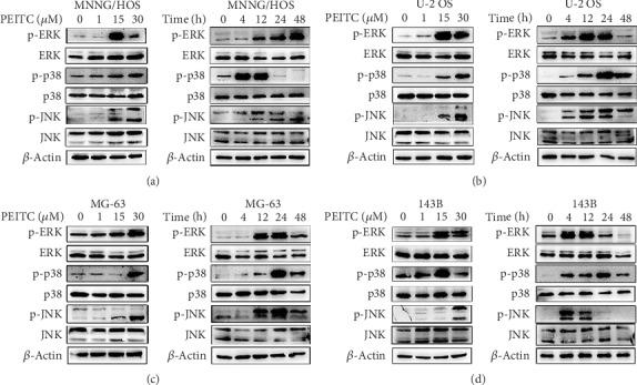 PEITC activated the MAPK signaling pathway in human OS cells. (a–d) Phosphorylation levels of ERK, p38, and JNK in MNNG/HOS, U-2 OS, MG-63, and 143B cells treated with the indicated concentrations of PEITC for 20 h or 30 μ M PEITC for 4 h, 12 h, 24 h, and 48 h.
