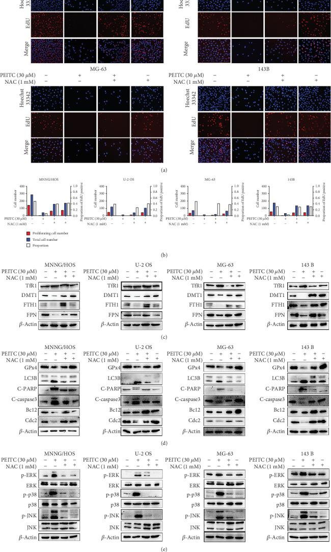PEITC induced cell death via ROS generation in human OS cells. (a) EdU staining assay of MNNG/HOS, U-2 OS, MG-63, and 143B cells treated with 30 μ M PEITC in the presence or absence of NAC for 24 h. (b) Quantitative analysis of EdU staining in (a). (c) Protein expression levels of TfR1, DMT1, FTH1, and FPN in MNNG/HOS, U-2 OS, MG-63, and 143B cells treated with 30 μ M PEITC in the presence or absence of NAC for 24 h. (d) Protein expression levels of GPx4, LC3B, C-PARP, C-caspase3, Bcl2, and Cdc2 in MNNG/HOS, U-2 OS, MG-63, and 143B cells treated with 30 μ M PEITC in the presence or absence of NAC 24 h. (e) Phosphorylation levels of ERK, p38, and JNK in MNNG/HOS, U-2 OS, MG-63, and 143B cells treated with 30 μ M PEITC in the presence or absence of NAC for 24 h.