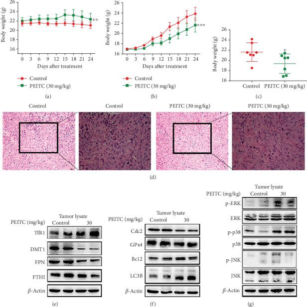 PEITC suppressed OS growth in vivo . MNNG/HOS cells were injected subcutaneously into the right flank of the male BALB/c nude mice. One week after the OS xenograft mouse model was established, the mice were randomly divided into two groups and, respectively, administrated with 10% sesame seed oil and 30 mg/kg PEITC once daily for 24 consecutive days. (a) Body weight change of the two groups. (b) Volume change of OS tissues of the two groups. Data were calculated by the formula: volume = length × width 2 × 0.5. (c) Weight of OS tissues from the two groups. (d) H E staining analysis of tumor tissues (200× and 400×). (e) The protein expression levels of TfR1, DMT1, FTH1, and FPN in tumor tissues. (f) The protein expression levels of LC3B, C-caspase3, GPx4, and Cdc2 in tumor tissues. (g) Phosphorylation levels of ERK, p38, and JNK in tumor tissues. All data were presented as the means ± SD ( n = 7). ∗ P