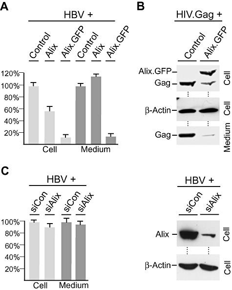 HBV budding requires ESCRT, but not Alix. A. DN Alix blocks HBV budding. HuH‐7 cells were co‐transfected with the HBV replicon and empty plasmid DNA (Control), HA‐tagged WT Alix or the GFP‐tagged Alix mutant (Alix.GFP) at a 1:3 DNA weight ratio respectively. Three days post transfection, cellular supernatants (Medium; black columns) and cytoplasmic extracts prepared with Triton X‐100 (Cell; grey columns) were harvested. HBV release was detected by envelope‐specific immunoprecipitation of supernatants and real‐time PCR of the viral genomes. Non‐enveloped cytoplasmic nucleocapsids were immunoprecipitated with anti‐capsid antibodies (K45) and analysed by PCR. PCR results were demonstrated in per cent amount relative to control‐transfected cells. B. DN Alix blocks HIV.Gag budding. GFP‐tagged HIV.Gag was co‐transfected with control DNA or the Alix.GFP construct at a 1:3 ratio. NP‐40 lysates and VLPs harvested from the supernatants were analysed by GFP‐ and β‐actin‐specific immunoblotting. C. Alix depletion does not inhibit HBV budding. HuH‐7 cells were transfected with control siRNA or siRNA against Alix. Two days later, cells were retransfected with the HBV replicon and harvested after additional 3 days. Intracellular nucleocapsids and extracellular virions were assayed as in (A). Mean results of four PCR reactions are demonstrated in per cent amount relative to control‐treated cells (left). To probe for Alix depletion, the same lysates were immunoblotted with anti‐Alix and anti‐β‐actin antibodies (right).