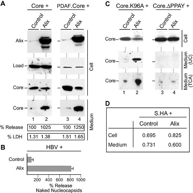 Excess Alix enhances HBV naked (nucleo)capsid release. A. Core (lanes 1 and 2) or DPAF‐tagged core (lanes 3 and 4) was co‐transfected with control DNA or HA‐tagged Alix at a 1:3 DNA ratio respectively. Cell extracts were prepared with SDS and analysed by HA‐specific immunoblotting to monitor expression of Alix. For detection of core, the core antiserum (K46) (lanes 1 and 2) or the DPAF antibody (lanes 3 and 4) was used. In either case, non‐specifically stained bands served as a control for gel loading (Load). Capsids harvested from the culture media were analysed in the same manner. The experiments were repeated three times, and capsids released into the supernatants were quantified and demonstrated in per cent amount relative to control cells. To probe for cell lysis, supernatants were assayed for LDH activity. B. The pHBV replicon was co‐transfected with Alix or control plasmid DNA. Cell supernatants were immunoprecipitated with the capsid‐specific antiserum (K45) prior to PCR measurement of the viral DNA. Mean PCR results are demonstrated in per cent amount relative to control‐transfected cells. C. The core mutants Core.K96A (lanes 1 and 2) and CoreΔPPAY (lanes 3 and 4) were subjected to the co‐transfection assay exactly as in (A). Cell lysates and media concentrated by either ultracentrifugation (UC) or TCA precipitation (TCA) were immunoblotted with the core antiserum (K46). D. An HA‐tagged version of the HBV small envelope protein (S.HA) was transfected into HuH‐7 cells together with Alix or a control construct at a 1:3 ratio respectively. Amounts of S were examined by ELISA and are expressed as mean units of optical density at 492 nm ( n = 3).