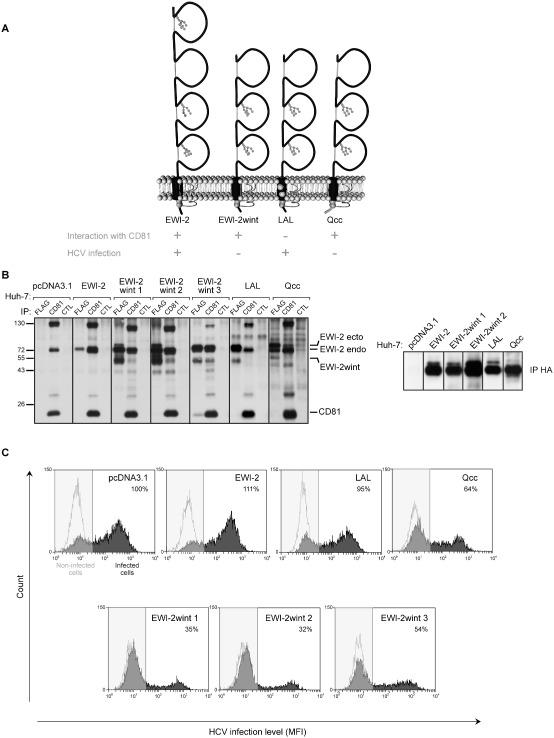 EWI ‐2wint needs to interact with CD 81 to inhibit HCV infection. A. Schematic representation of EWI ‐2 and mutated EWI ‐2 Fur proteins. EWI ‐2wint corresponds to EWI ‐2 without its first Ig domain. In the LAL mutant, mutation of a glycine zipper motif in the transmembrane domain of EWI ‐2 Fur abolishes the interaction of EWI ‐2/ EWI ‐2wint with CD 81. In the Qcc mutant, the cytosolic tail of EWI ‐2 Fur was replaced by that of MHC II but which still contains the two juxtamembranous palmitoylatable cysteines. B. Huh ‐7 clones expressing the different FLAG and HA ‐tagged EWI constructs were cell surface biotinylated and lysed in PBS / BrijO 10/ EDTA . Lysates were used to carry out immunoprecipation assays with the TS 81 anti‐ CD 81 mAb , the M 2 anti‐ FLAG mAb or the HA 11 anti‐ HA mAb . The control lines ( CTL ) correspond to lysates incubated with no mAb . Proteins are detected using HRP ‐ S treptavidin. C. Each Huh ‐7 clone was infected with HCVcc and stained using anti‐ NS 5 mAb (2 F 6/ G 11) and a secondary antibody conjugated with PE . Non‐infected cells served as negative controls. A representative histogram of every clone is shown. Percentages corresponding to infected cells were calculated using W easel software.