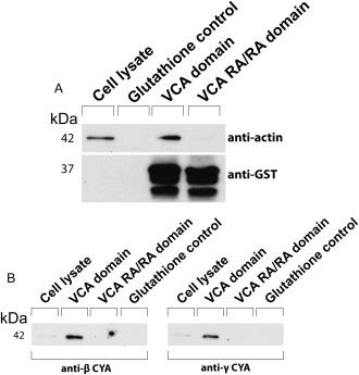 GST pull‐down assays to determine binding preferences for β‐or γ‐CYA. Immunoblots of cell lysate bound to GST‐VCA or GST‐VCA RA/RA on glutathione‐containing Sepharose beads. Immunoblots were probed with either anti‐actin and anti‐GST antibodies (a) or antibodies specific to β‐CYA or γ‐CYA (b).