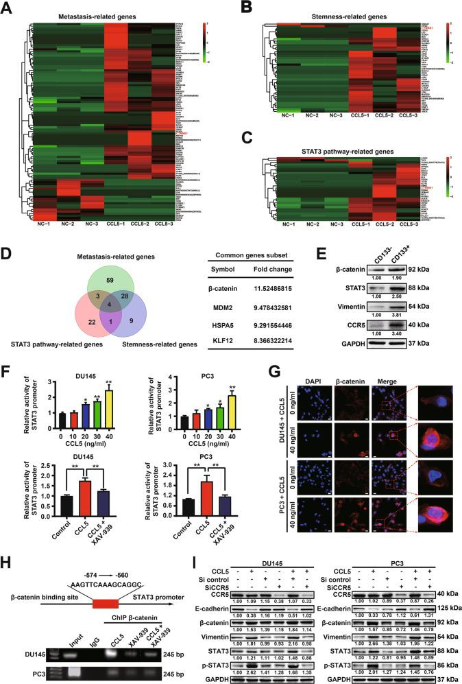 CCL5 promotes prostate cancer invasion and PCSCs self-renewal via activating the CCR5/β-catenin/STAT3 pathway. a – c Heatmaps of 94 metastasis-related DEGs ( a ), 42 stemness-related DEGs ( b ), as well as 30 STAT3 pathway-related DEGs ( c ). RNA-Seq analysis was conducted to characterize the cellular responses of PC3 cells to 40 ng/ml CCL5 treatment. Differential gene expression analysis was conducted to identify the DEGs ( n = 3). d Venn diagram of the DEGs in the indicated groups. CTNNB1, also known as β-catenin, was the most significant one of them. e Western blotting assay indicated that the CD133 + PCSCs sorted from PC3 cells by MACS method exhibited increased expression of CCR5, β-catenin, and STAT3 when compared with the CD133 - subpopulation ( n = 3). f CCL5 treatment significantly elevated the promoter activity of STAT3 in PC3 cells while XAV-939, the specific inhibitor of β-catenin, partly abrogated that ( n = 6). g Immunofluorescence assay indicated that CCL5 treatment (40 ng/ml) could significantly induce the expression and nuclear translocation of β-catenin in prostate cancer cells. Scale bar, 10 μm. h CHIP assay suggested that β-catenin could bind to the promoter region of STAT3 , while the specific inhibitor of β-catenin (XAV-939) partly decreased their binding activity. i CCR5 specific siRNAs could significantly abrogate the activation effect of CCL5 on β-catenin/STAT3 pathway ( n = 3). All values are presented as the mean ± SD, * p