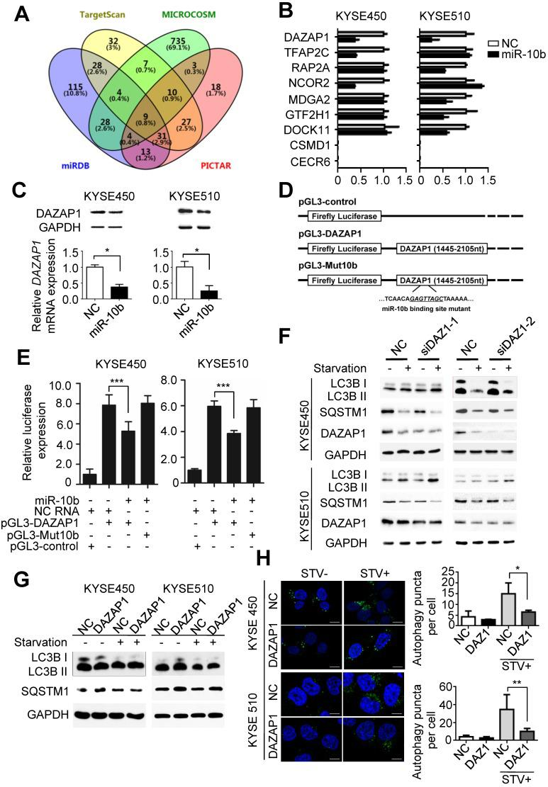 MiR-10b promotes autophagy by silencing DAZAP1 expression in ESCC. (A) Venn diagram of potential candidate target genes of miR-10b by integrating the results of the algorithms TargetScan, PICTAR, Micro-RNA and MiRDB. (B) <t>qRT-PCR</t> validation of the nine potential target genes of miR-10b in KYSE450 and KYSE510 cells transfected with either miR-10b mimics or NC RNA. (C) miR-10b could significantly inhibit DAZAP1 protein and mRNA expression in ESCC celllines. (D) Schematic constructions of pGL3-DAZAP1 and pGL3-Mut10b. (E) pGL3-DAZAP1 and pGL3-Mut10b were co-transfected into KYSE450 and KYSE510 cells with miR-10b mimics or NC RNA. Luciferase activity was detected at 48h after transfection and normalized relative to the Renilla luciferase expression. Inhibition effects of miR-10b mimics on pGL3-DAZAP1 or pGL3-Mut10b were showed. (F, G) Immunoblot results of extracts from non-starved or starved KYSE450 and KYSE510 cells. Silencing DAZAP1 expression (siDAZ1-1 and siDAZ1-2) increased starvation-induced conversion of LC3B-I to LC3B-II and accelerated rapamycin-induced SQSTM1 degradation in both ESCC celllines. Over-expressed DAZAP1 suppressed conversion of LC3B-I to LC3B-II and down-regulation of SQSTM1 in KYSE450 and KYSE510 cells. (H) DAZAP1 inhibited starvation-induced GFP-LC3 LC3B + autophagosomes formation in both ESCC celllines. The number of LC3 punctae in cells of each group was calculated from 3 random fields, and at least 30 cells were chosen. Autophagy was assessed under non-starved (STV-) or starved (STV+) conditions. The difference between two groups was calculated using Student's t test (assuming Gaussian distributions) or Wilcoxon Signed Rank Test (not assuming Gaussian distributions). All results of the mean of triplicate assays with standard deviation are presented. * P