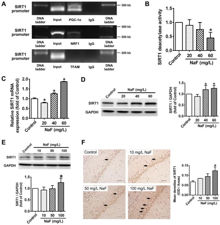 NaF exposure caused SIRT1 expression changes both in vitro and in vivo . (A) ChIP-PCR analyses for PGC-1α, NRF1 and TFAM binding to the SIRT1 promoter in SH-SY5Y cells. (B) SIRT1 deacetylase activity in SH-SY5Y cells measured by SIRT1 assay kits. (C, D) RT-qPCR (C) and immunoblot (D) analyses of SIRT1 in SH-SY5Y cells. Quantification represents the levels of the indicated mRNA and protein normalized to GAPDH. (E) Immunoblot analyses of SIRT1 in hippocampal tissues ( n = 3 rats per group). (F) Representative images of the IHC staining for SIRT1-expressing (SIRT1 + ) neurons in hippocampal CA1 region. SIRT1 + neuronal cells are demonstrated by black arrows and quantified. Scale bars represent 50 μm, n = 2 rats per group. Data information: Data are presented as mean ± SD. Data were cumulative of at least three independent experiments (A-D). * P