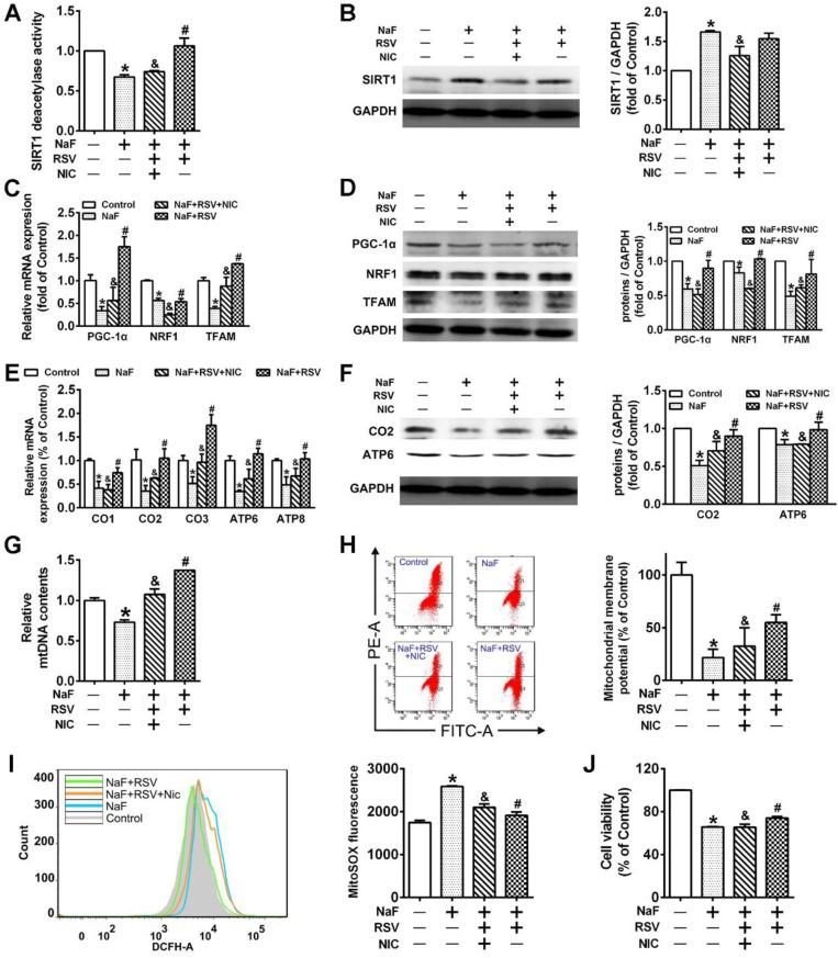RSV protects cells from NaF-caused adverse neuronal effects via promoting SIRT1-depeendent PGC-1α-NRF1-TFAM signaling pathway. (A) SIRT1 deacetylase activity in SH-SY5Y cells using SIRT1 assay kit. (B) Immunoblot analysis of SIRT1 in SH-SY5Y cells and the corresponding quantification. (C, D) RT-qPCR (C) and immunoblot (D) analyses of PGC-1α, NRF1 and TFAM in SH-SY5Y cells. Quantification represents the levels of the indicated mRNA and protein normalized to GAPDH. (E, F) RT-qPCR (E) and immunoblot (F) analyses of representative subunits encoded by mtDNA in SH-SY5Y cells. Quantification represents the levels of the indicated mRNA and protein normalized to GAPDH. (G) RT-qPCR analysis of relative mtDNA contents in SH-SY5Y cells. (H, I) Representative flow plots of MMP levels (H) and mitoROS production (I) in SH-SY5Y cells using flow cytometry. (J) Levels of cell viability in SH-SY5Y cells determined by CCK-8 assay. SH-SY5Y cells were preincubated with 20 μM RSV for 2 h followed by co-culturing with 60 mg/L NaF and 3 mM NIC for 24 h. Data information: Data are presented as mean ± SD. Data were cumulative of at least three independent experiments. * P