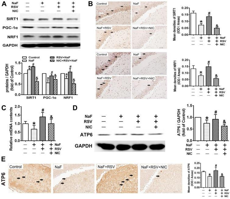 RSV improves SIRT1-relied mitochondrial biogenesis process in NaF-injured hippocampal tissues of offspring rats. (A) Immunoblot analyses of SIRT1, PGC-1 and NRF1 in hippocampal tissues ( n = 3 rats per group). GAPDH was used as the internal control. (B) Representative images of the IHC staining for SIRT1 + and NRF1 + neurons in hippocampal DG region. SIRT1 + and NRF1 + neuronal cells are demonstrated by black arrows and quantified. Scale bars represent 50 μm, n = 2 rats per group. (C) RT-qPCR analyses of relative mtDNA contents in hippocampal tissues ( n = 6 rats per group). (D) Immunoblot analyses of ATP6 in hippocampal tissues ( n = 3 rats per group). (E) Representative images of the IHC staining for ATP6 + neurons in hippocampal DG region. ATP6 + neuronal cells are demonstrated by black arrows and quantified. Scale bars represent 50 μm, n = 2 rats per group. Data information: Data are presented as mean ± SD. * P
