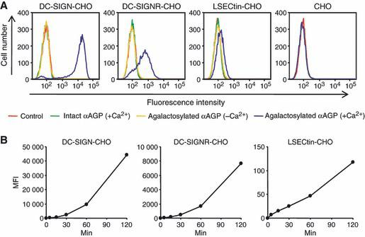 Uptake of agalactosylated αAGP by CHO cells stably expressing DC‐SIGN, DC‐SIGNR and LSECtin. (A) CHO cells stably expressing DC‐SIGN, DC‐SIGNR and LSECtin were incubated with 10 μg·mL −1 of biotin‐labeled agalactosylated αAGP (blue line) and its intact form (green line) precomplexed with PE‐conjugated streptavidin on ice for 30 min, and allowed to internalize at 37 °C for 1 h in the presence or absence (orange line) of 2 m m CaCl 2 . Negative controls represent staining obtained using PE‐conjugated streptavidin (red line). Cells were analyzed by flow cytometry. Parental untransfected CHO cells were used as mock cells. (B) CHO cells expressing DC‐SIGN, DC‐SIGNR and LSECtin cells were internalized at 37 °C for the times shown with 10 μg·mL −1 of biotin‐labeled agalactosylated αAGP precomplexed with PE‐conjugated streptavidin.