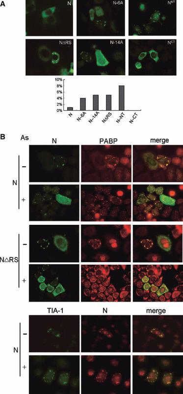 Translocation of the SARS‐CoV N protein to cytoplasmic granules can be induced by cell stress and modulated by phosphorylation. (A) Expression vector encoding FLAG‐tagged full‐length (N), RS motif‐deleted (NΔRS), two serine‐to‐alanine mutants (N‐6A and N‐14A), N‐terminal‐half (N NT ) or C‐terminal‐half (N CT ) N protein was transiently transfected into HeLa cells. Upper panel: representative fluorescence images. Lower panel: percentage of granule‐positive cells; approximately 100 transfected cells were counted for each protein. (B) HeLa cells transiently expressing HA‐tagged N or NΔRS or coexpressing HA‐N and GFP‐TIA‐1 were mock treated (−) or treated (+) with 0.5 m m arsenite for 1 h. Double immunofluorescence was performed using anti‐HA and anti‐PABP. A merged image is shown in the right‐hand panel.