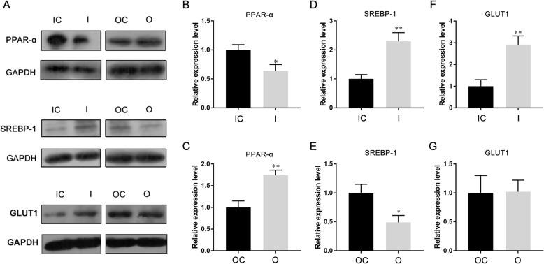 MiR-30b-5p regulates the expression of lipid metabolism-related genes. a protein expression of PPAR-α, SREBP-1, and GLUT1 in miR-30b-5p overexpressed or inhibited Huh-7 cells. b-g the relative quantify of expression of PPAR-α, SREBP-1, and GLUT1 normalized to GAPDH. (I, inhibition; IC, inhibition control; O, overexpression; OC, overexpression control)