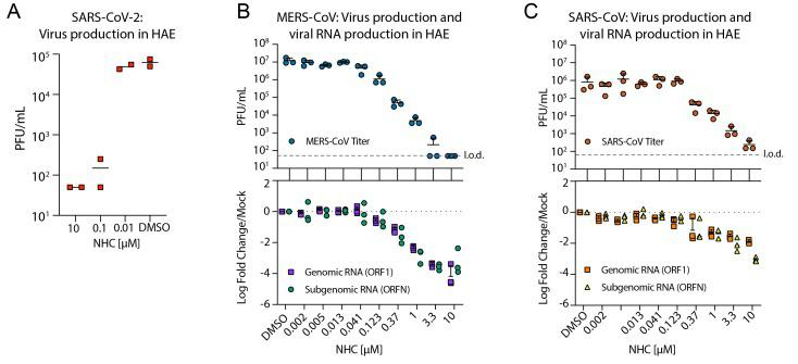 NHC is highly active against SARS-CoV-2, MERS-CoV, and SARS-CoV in primary human airway epithelial cell cultures. (A) HAE were infected at an MOI of 0.5 with clinical isolate SARS-CoV-2 for 2 hours in the presence of NHC in duplicate after which virus was removed and cultures were washed in incubated in NHC for 48 hours when apical washes were collected for virus titration by plaque assay. The line is at the mean. Each symbol represents the titer from a single well. (B) HAE cells were infected with MERS-CoV red fluorescent protein (RFP) at an MOI of 0.5 in triplicate and treated similarly to A . qRT-PCR for MERS-CoV ORF1 and ORFN mRNA. Total RNA was isolated from cultures in C for qRT-PCR analysis. Representative data from three separate experiments with three different cell donors are displayed. PFU, plaque-forming units. (C) Studies performed as in A but with SARS-CoV green fluorescent protein (GFP). Representative data from two separate experiments with two different cell donors are displayed. Each symbol represents the data from one HAE culture, the line is at the mean and the error bars represent the standard deviation.