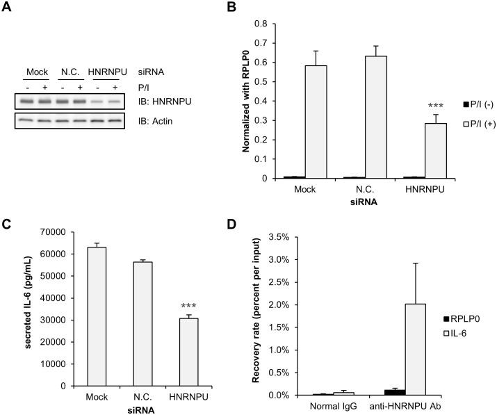 HNRNPU regulates P/I-induced IL-6 mRNA expression. (A–C) HeLa cells were transfected with siRNAs, incubated for 72 hours, and then treated with P/I for 4 hours (B) or 24 hours (A, C) and harvested. HNRNPU protein expression was determined by Western blotting with actin as a loading control (A). IL-6 mRNA expression was examined using a TaqMan assay and normalized with RPLP0 (B). (C) IL-6 protein secreted in the condition medium was quantified by ELISA (R D Systems). Statistically significant differences are marked with *** ( p