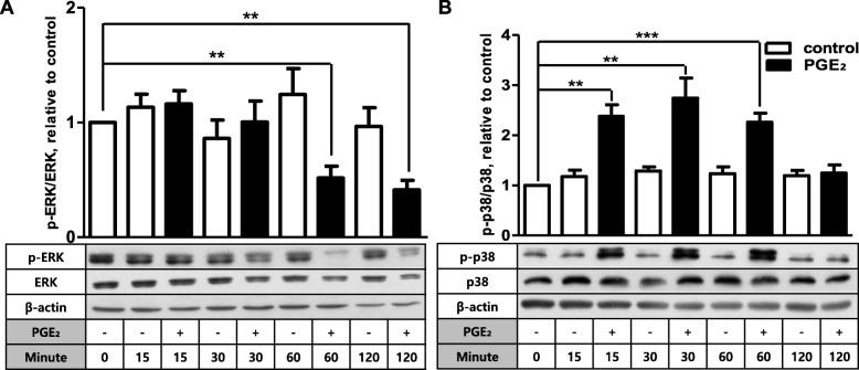 PGE 2 selectively increases phosphorylation of p38 in FDC-like cells. The total and phosphorylated levels of ERK ( a ) and p38 ( b ) MAPKs were examined by immunoblotting before and at the indicated time points after culture of FDC-like cells in the presence or absence of PGE 2 (1 μM). β-Actin was used to show equal loading of cell lysates. Representative immunoblots and statistical analysis data (mean ± SEM) of three independent experiments are shown. An asterisk(s) indicates a significant difference (**, p