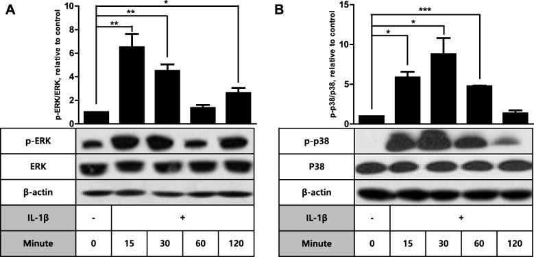 IL-1β induces phosphorylation of both ERK and p38 in FDC-like cells. The total and phosphorylated levels of ERK ( a ) and p38 ( b ) MAPKs were examined by immunoblotting before and at the indicated time points after culture of FDC-like cells in the presence of IL-1β (10 pg/ml). Representative immunoblots and statistical analysis data (mean ± SEM) of three ( a ) or two ( b ) independent experiments are depicted. An asterisk(s) indicates a significant difference (*, p