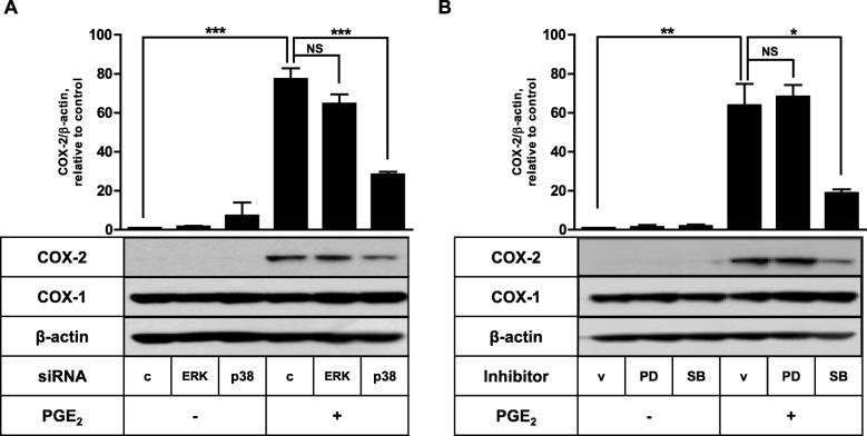 p38 MAPK is necessary for the PGE 2 -induced COX-2 expression in FDC-like cells. a The effects of ERK and p38 knockdown on COX-2 induction by PGE 2 were examined with FDC-like cells that had been transfected with control or siRNA against ERK or p38 before the addition of PGE 2 (1 μM). b The effects of PD098059 (PD, 50 μM) and SB203580 (SB, 10 μM) on COX-2 induction by PGE 2 were examined. FDC-like cells (1 × 10 5 cells) were cultured in the presence of PD098059 or SB203580 for 30 min and then added with PGE 2 (1 μM) for 8 h. The expression levels of COX-1, COX-2, and β-actin were measured by immunoblotting. Representative immunoblots and statistical analysis data (mean ± SEM) of three independent experiments are shown. An asterisk(s) indicates a significant difference (*, p