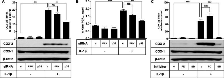 IL-1β-stimulated COX-2 expression in FDC-like cells depends on p38 MAPK. a The effects of ERK and p38 knockdown on COX-2 induction by IL-1β were examined with FDC-like cells that had been transfected with control or siRNA against ERK or p38 before the addition of IL-1β (10 pg/ml). The expression levels of COX-1, COX-2, and β-actin were measured by immunoblotting. b The amounts of 6-keto-PGF 1α in culture supernatants of (A) experiments were measured by EIA as described in Methods . c The effects of PD098059 (PD, 50 μM) and SB203580 (SB, 10 μM) on COX-2 induction by IL-1β were examined. Representative immunoblots and statistical analysis data (mean ± SEM) of three independent experiments are shown. An asterisk(s) indicates a significant difference (*, p