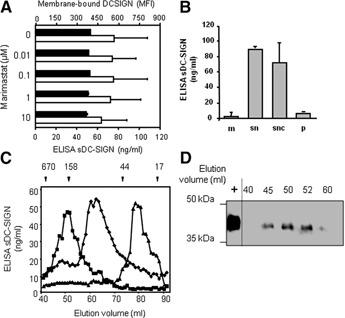 "Characterization of the releasing mode and oligomerization status of MoDC‐derived sDC‐SIGN. (A) Dose‐dependent effect of Marimastat™ on mDC‐SIGN (MFI, mean fluorescence intensity: black bars, cytometric analysis) and sDC‐SIGN (ELISA) expression by 6‐day immature MoDC (open bars). (B) ELISA titration of sDC‐SIGN in membrane ghosts (m), 10× concentrated culture supernatant (sn), 10× concentrated ultracentrifuged culture supernatant (snc; 100,000 g, 2 h), and post‐ultracentrifugation pellet of the culture supernatant (p). Total protein (50 μg) was used for sDC‐SIGN titrations for all tested samples (BCA total protein quantification). (C) The oligomerization status analysis of FLAG‐sDC‐SIGN1AT1/T3 was studied by gel filtration. Fractions (500 μl‐sized), each containing 100‐μg purified FLAG‐sDC‐SIGN1AT1 (▪), FLAG‐sDC‐SIGN1AT3 (♦), and CRD alone (approximately 19 kDa; ▴; monomeric control), were separated onto a gel filtration column (GE Healthcare). Elution fractions were collected (1 ml) and analyzed further by ELISA to quantify sDC‐SIGN, except for the CRD. Indeed, CRD was devoid of the neck region recognized by the H‐200‐coating anti‐DC‐SIGN pAb. Thus, CRD was quantified in eluted fractions by BCA. The results are plotted as the sDC‐SIGN concentrations, according to the elution volume. Standard MW are indicated by black arrowheads on the top of the graph and positioned at their corresponding elution volume (thyroglobulin=670,000 kD; bovine γ‐globulin=158,000 kD; chicken OVA=44,000 kD; equine myoglobin=17,000 kD). (D) Five concentrated, FLAG‐sDC‐SIGN1AT1‐associated, peak‐surrounding fractions were analyzed by Western blot. Each fraction is characterized by its elution volume, indicated for each lane on the top of the gel. FLAG‐sDC‐SIGN1AT1 was used as a positive control (200 ng loaded in the ""+"" lane)."