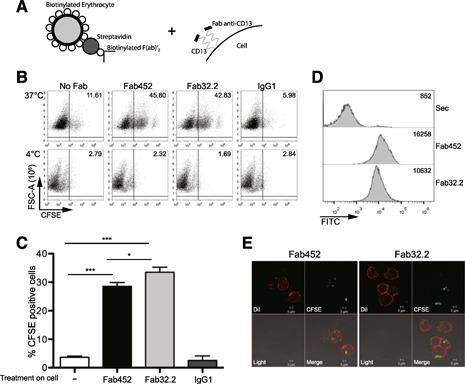 CD13 mediates internalization of erythrocytes in THP‐1 cells. (A) Schematic representation of EBS‐Fabs construction and treatment on cells for phagocytosis assays. THP‐1 cells were incubated with 2 µg Fab fragments of mAb452 (Fab452; anti‐CD13), 8 µg Fab fragments of mAb32.2 (Fab32.2; anti‐FcγRI), and 8 µg IgG1 or without antibody (No Fab) for 30 minutes at 4°C. After washing, cells were incubated for 105 minutes at 37°C or 4°C with CFSE‐labeled F(ab)′ 2 goat anti‐mouse‐opsonized erythrocytes (EBS‐Fab). Noningested erythrocytes were lysed, and samples were analyzed by flow cytometry to determine the percentage of CFSE‐positive cells. (B) Representative dot plot of a single experiment. FSC‐A, Forward‐scatter‐area. (C) Average of CFSE‐positive cells of 25 independent experiments. *** P