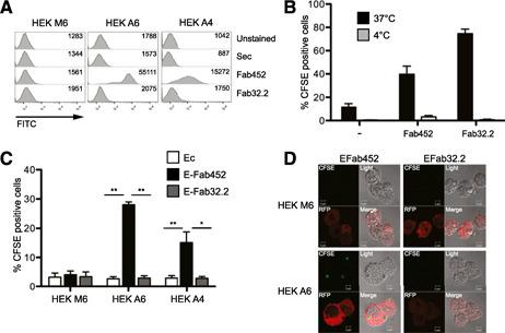 hCD13 expression on epithelial cells is necessary and sufficient for CD13‐mediated phagocytosis. (A) HEK293 cells transduced with lentiviral particles containing plasmids for CD13 expression pLenti‐suCMV(hANPEP)‐Rsv(RFP‐Bsd; clones A4 and A6) and transfection control pLenti‐suCMV(empty)‐Rsv(RFP‐Bsd; clone M6) were incubated with 2 µg Fab fragments of mAb452 (anti‐CD13) and 8 µg Fab fragments of mAb32.2 (anti‐FcγRI) or without antibody for 30 minutes at 4°C. Cells were then washed and incubated with secondary goat anti‐mouse FITC. A representative histogram of the expression of hCD13 on these clones is shown. (B) <t>THP‐1</t> cells or (C) HEK293 clones A6, A4, and M6 were incubated with EFab452, EFab32.2, or Ec for 120 minutes at 37°C. Noningested erythrocytes were lysed, and samples were analyzed by flow cytometry to determine the percentage of CFSE‐positive cells. Average of CFSE‐positive cells of 5 independent experiments is shown. ** P