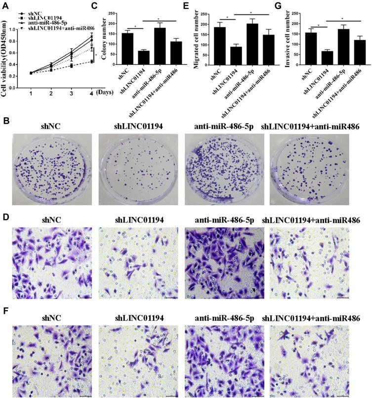LINC01194 exerted a biological effect on NSCLC cells via miR-486-5p. ( A ) CCK8 measured the viability of A549 cells. ( B, C ) colony formation assay cell proliferation. ( D, E ) Transwell measured the number of cell invasions. ( F, G ) Transwell measured the amount of cell migration. * P