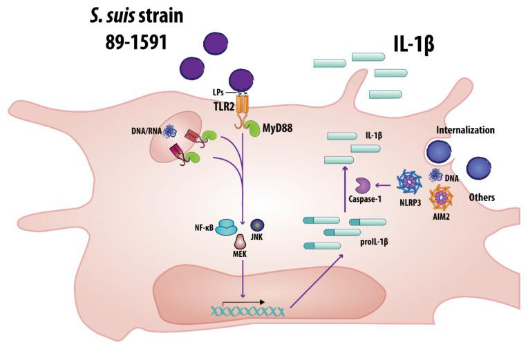 Proposed model of the mechanisms involved in SLY-negative virulent S. suis strain 89-1591-induced IL-1β production by bmDCs. Bacterial recognition by bmDCs requires MyD88-dependent signaling and partial involvement of TLR2 via recognition of lipoproteins (LPs). Following internalization, bacterial DNA and RNA can also induce IL-1β production. S. suis recognition then leads to activation of the NF-κB, MEK and JNK pathways. Finally, activation of the NLRP3 and AIM2 inflammasomes, the latter by bacterial DNA following elevated internalization, is involved in caspase-1-dependent processing of IL-1β.