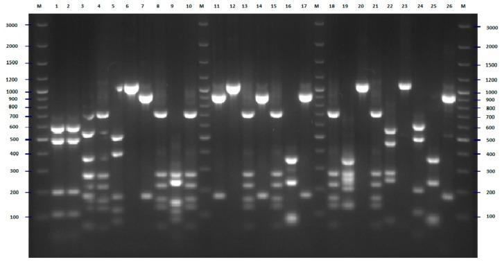 <t>PCR-RFLP</t> (polymerase chain reaction-restriction fragment length polymorphism) <t>Rsa</t> I restriction patterns of amplified fliC genes of E. coli strains tested—example of results for 26 isolates. The numbers indicate the numbers of particular isolates. M: 100 bp DNA ladder.